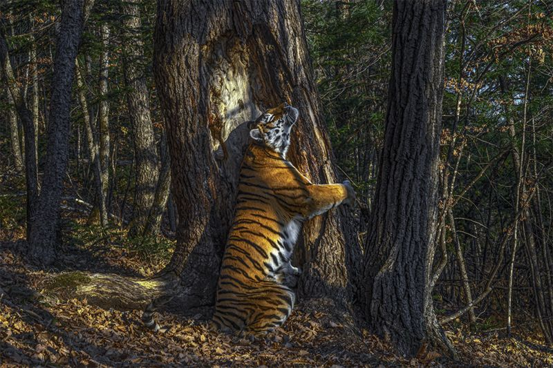 Tree-hugging Tiger photo in Russia wins wildlife photo award 74