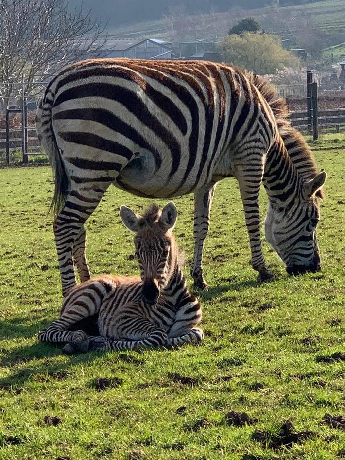 Frightened by fireworks, baby Zebra died in UK zoo 56