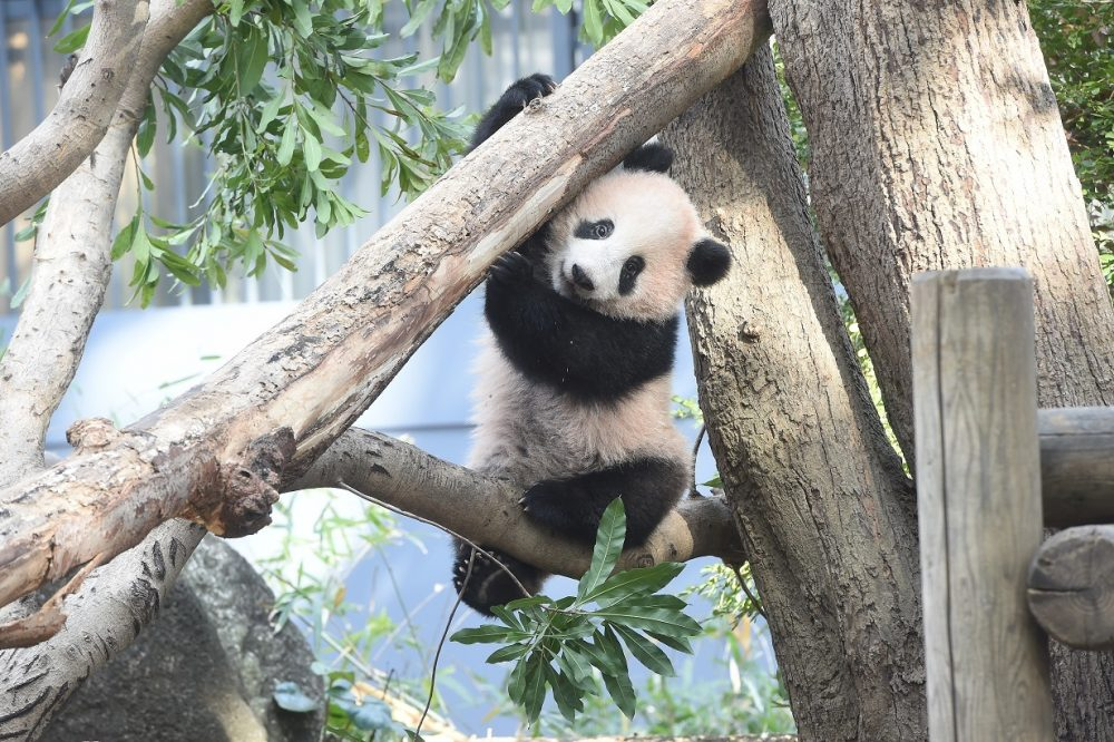 Japan hopes China to let cute pandas stay as they due to be returned 74