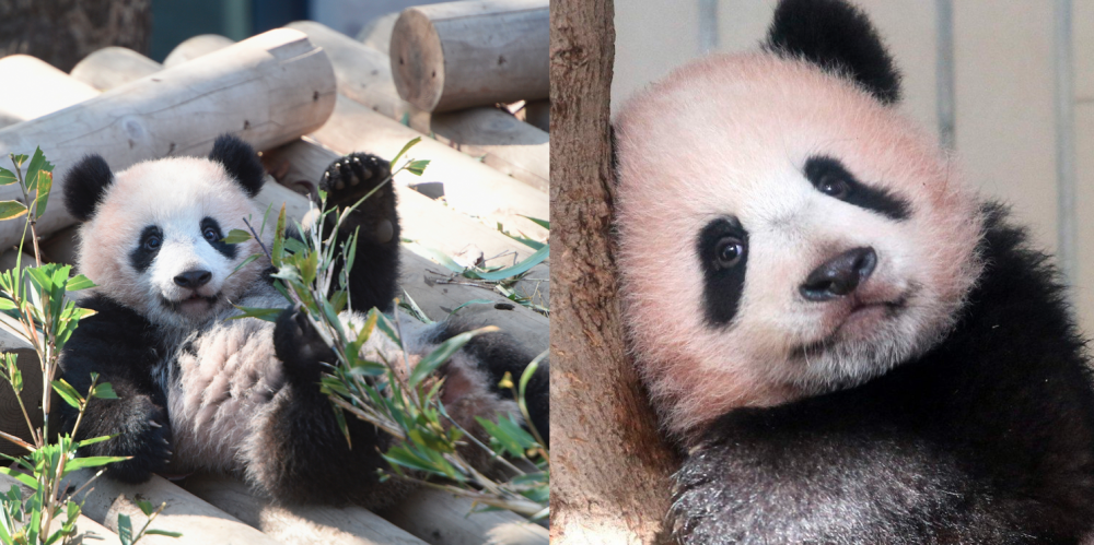 Japan hopes China to let cute pandas stay as they due to be returned 97
