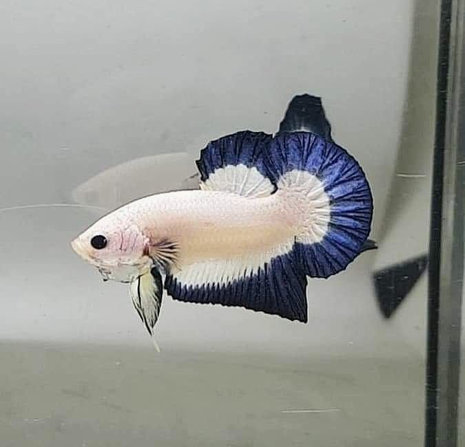 "Indonesian man gifts his wife betta fighting fish ""blue rim"" as wedding dowry 63"