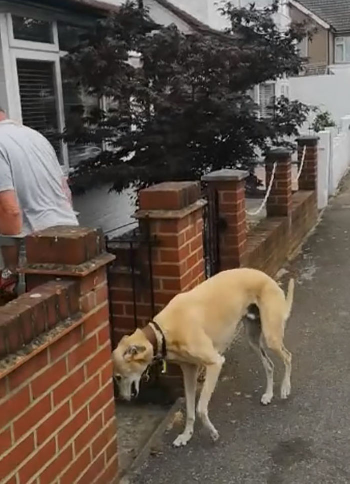 Owner's leg injured; his dog copies him out of sympathy 63