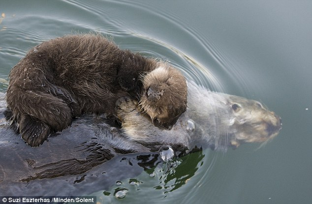 Photographer spotted a lovely mother otter keeps her cub dry on her belly 74