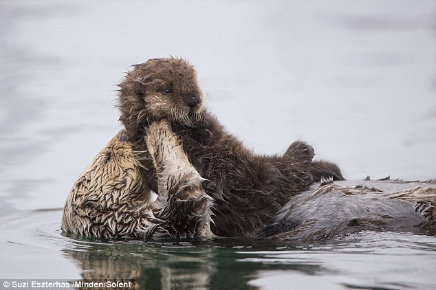 Photographer spotted a lovely mother otter keeps her cub dry on her belly 76