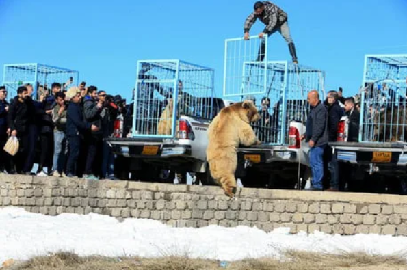Iraqis release rescued bears into the wild, immediately gets charged by the bears 63