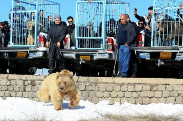 Iraqis release rescued bears into the wild, immediately gets charged by the bears 64