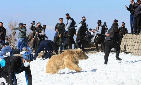 Iraqis release rescued bears into the wild, immediately gets charged by the bears 65