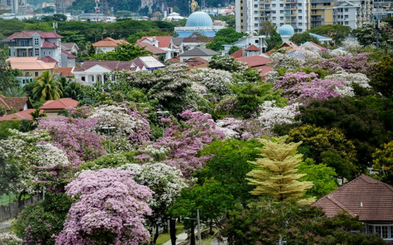 Malaysia's Capital has suddenly turned into a stunning Sakura paradise like Japan 57