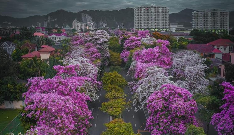 Malaysia's Capital has suddenly turned into a stunning Sakura paradise like Japan 56