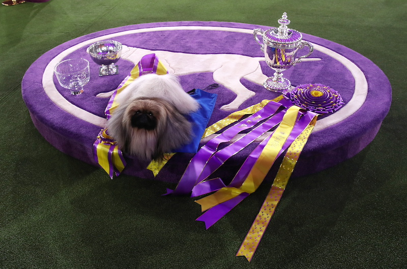 Meet Wasabi, the gorgeous Pekingese who wins Best in Show at Westminster 2021 63