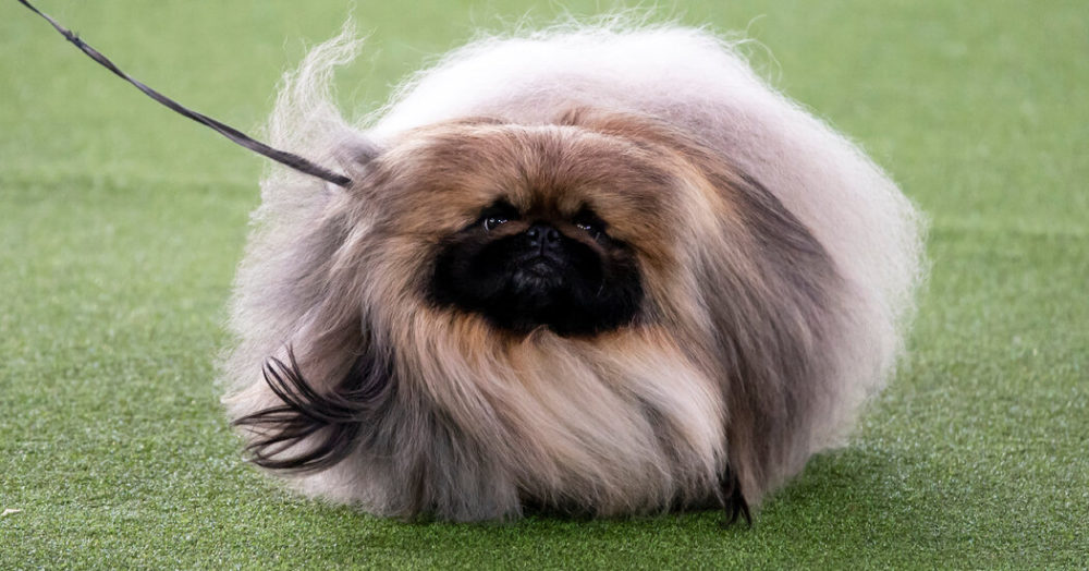 Meet Wasabi, the gorgeous Pekingese who wins Best in Show at Westminster 2021 62