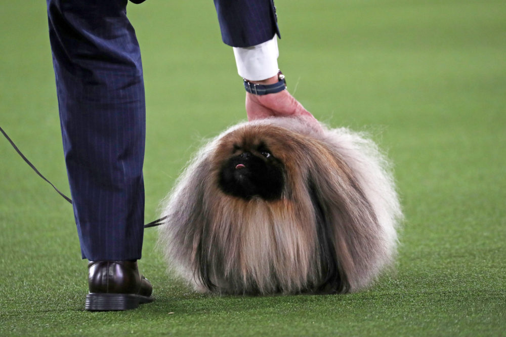 Meet Wasabi, the gorgeous Pekingese who wins Best in Show at Westminster 2021 65