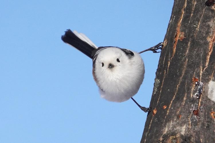 Meet Shima Enaga, the cute tiny bird that looks like a cotton ball in Japan 69