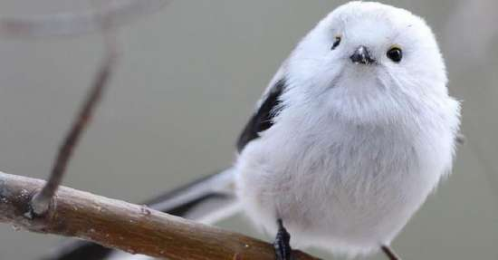 Meet Shima Enaga, the cute tiny bird that looks like a cotton ball in Japan 68