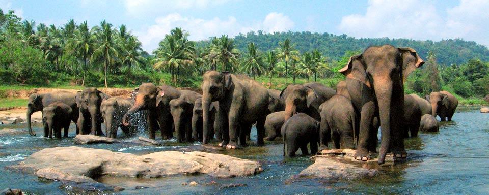 "Sri Lanka bans human riders from ""drunk riding"" of elephants 74"